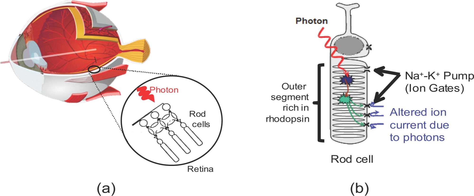hight resolution of diagram for rod eye