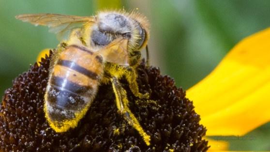 Pollenbeine