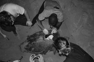 Green Sea Turtle Alasdair Davies Raspberry Pi