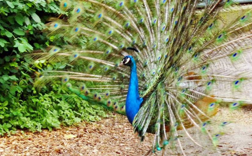 Was macht der Pfau im Zoo?