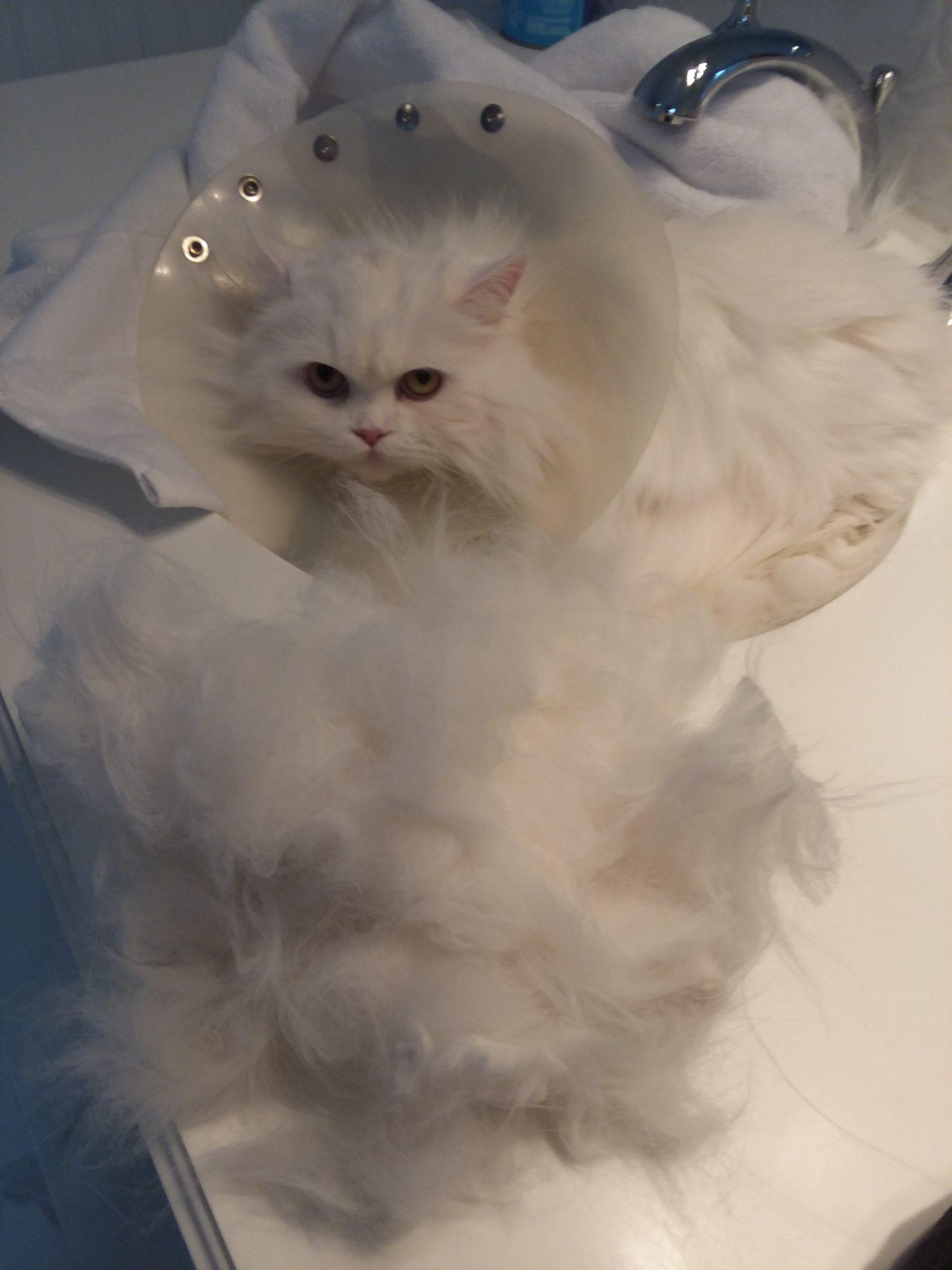 Kitten deshedding