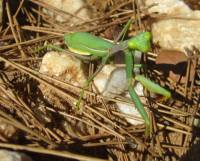 """It's okay for me to photograph these things, but if he'd moved, I would've been outta there like a shot! Everytime I see these insects I can't help but voice them like the Praying Mantis (Manny) in Pixars """"A Bug's Life""""."""