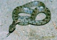 mediterranean-cat-snake--telescopus-falax