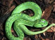 snakev
