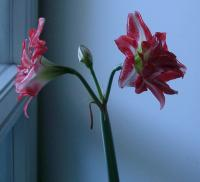 Dancing Queen amaryllis at three years old