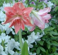 double-flowered amaryllis, I forget which variety