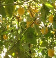 meyer lemon tree in August