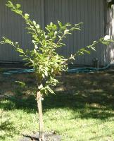 My baby plum tree from my kids
