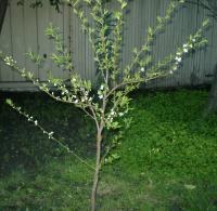 baby plum tree