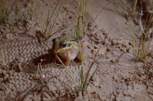 A lot of frogs are only visible around the springs at night, spending the daylight hours burrowed in the vegetation or sediment.