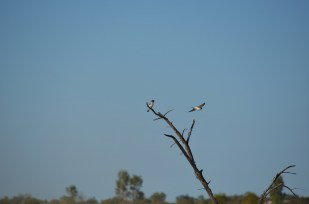 43_Woodswallows