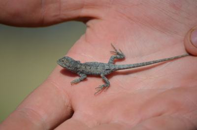 Very cute and tiny dragons abound - this guy was found running around in the grasses of the spring.