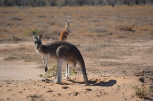 This beautiful mother and child were resting in this sand pile every morning when we went past. Red Kangaroos were in much higher abundance this trip. As the rest of the region dries up, Red's are perfectly adapted to finding permanent water and tracking the storms that green up some parts of the west.