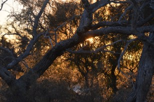 The tea trees in the late afternoon sun are always magical.