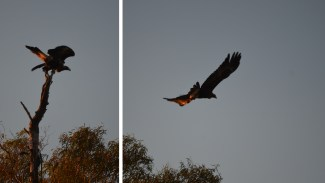 The Wedge-tailed Eagles of Edgbaston have got some pretty fierce reputations (we've seen them attack everything from Echidna to full-grown Kangaroo).