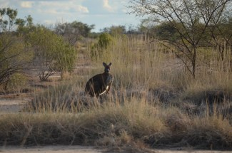 This particular Wallaroo is a regular siting on Edgbaston. He is often at the top dam and can be an intimidating site if you come upon him unawares.