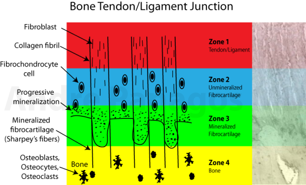 Bone tendon ligament junction