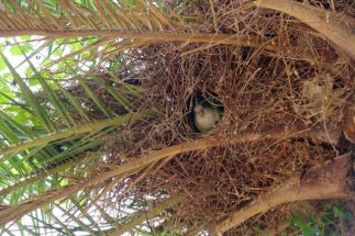 wild parrots build nests in the palm trees