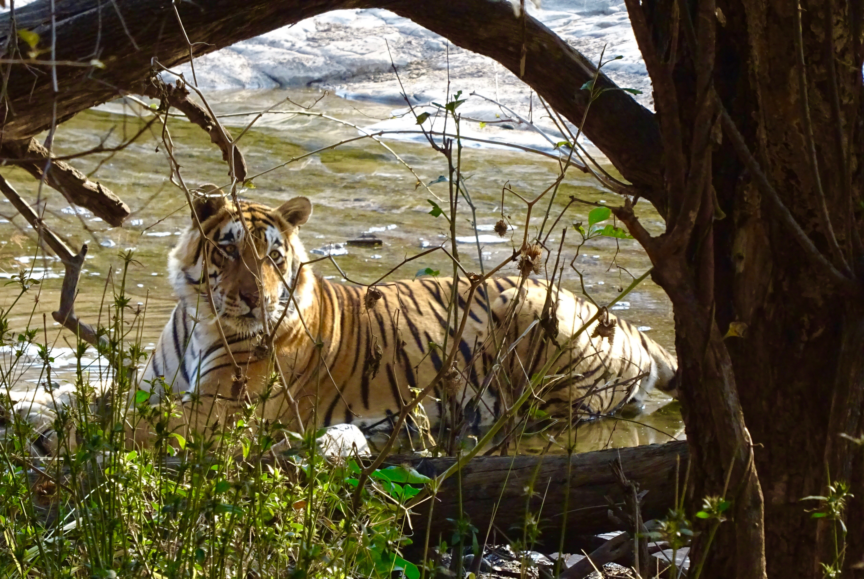 Tiger in Ranthambhore National Park, India - spinthewindrose.com