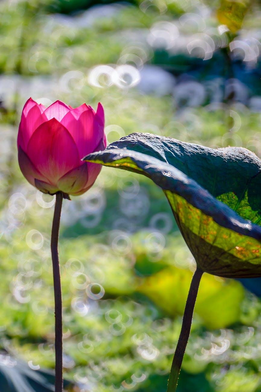 蓮の花の花言葉は神聖、清らかな心、雄弁などがあります。あり得ない美しいことが起こりうると思います。