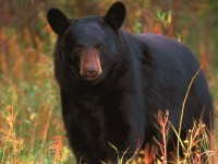 Bear, Mammals, Animal Messages and Totems, spirit-animals.com