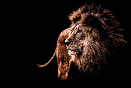 A male lion against a black background. Daniel got thrown into a lions' den.