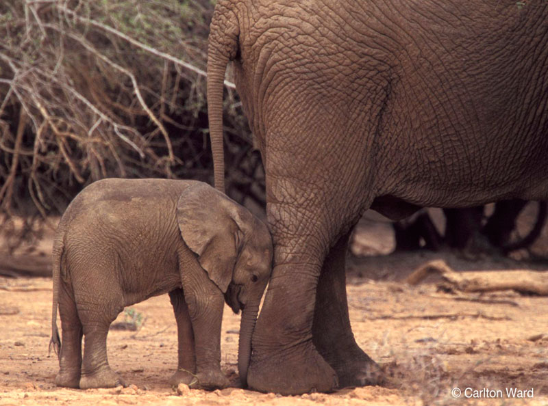 A baby desert elephant and its mother rest in the Gourma Region of Mali. Without additional protection this herd could be extinct within 5 years.