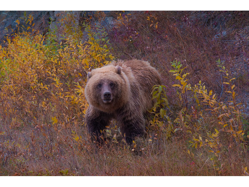 Young Grizzly Bear, YT © Patricia Calder