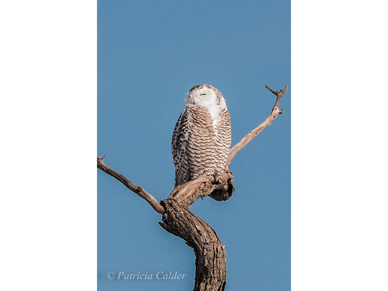 Snowy Owl, Amherst Is., ON © Patricia Calder