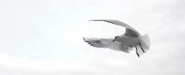 カモメ 翼 羽