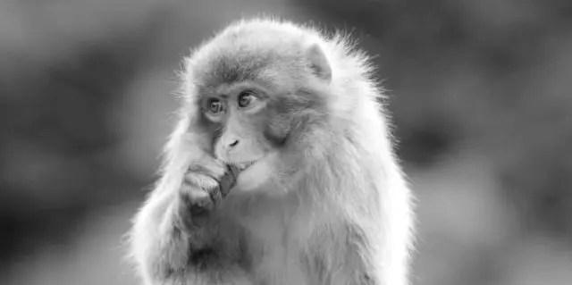 猿 食べる