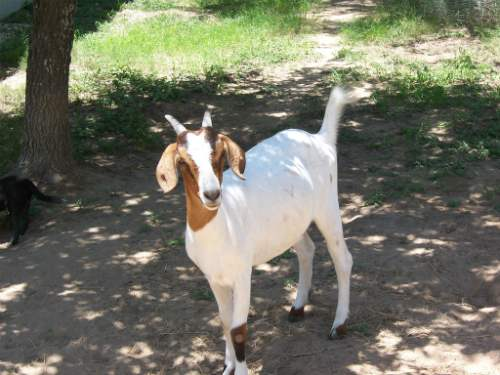 Goat at a farm