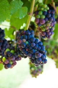 grapevine5b1[1]
