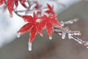 2013-12-Ice-on-Leaves