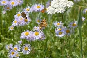 2014-7Butterflies on Blue Daisies6