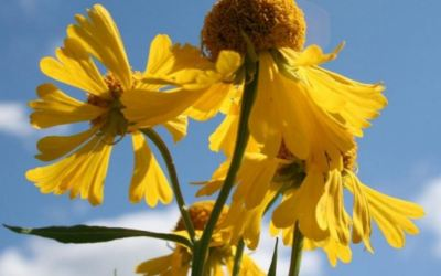 Helenium – Clear Smoking Habit