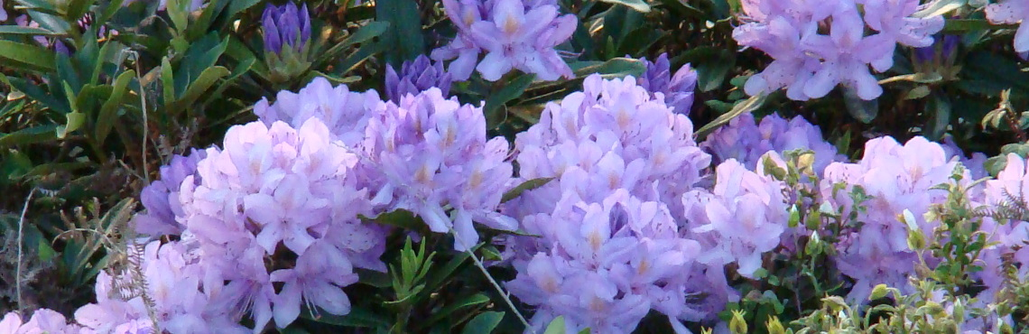 rhododendrons at our artisinal spirulina farm