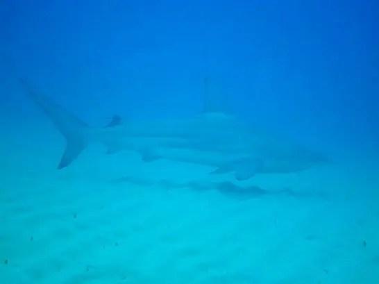 2011/12/29撮影 写真提供お客さまOさん ホウライザメ