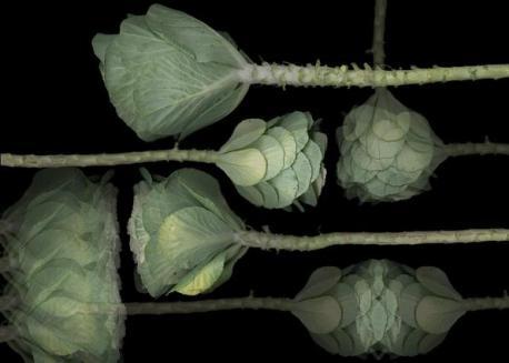 Cabbage Op. 5