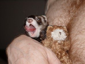 Image of drunk-looking weasel or ferret