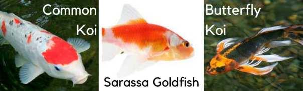Difference koi goldfish