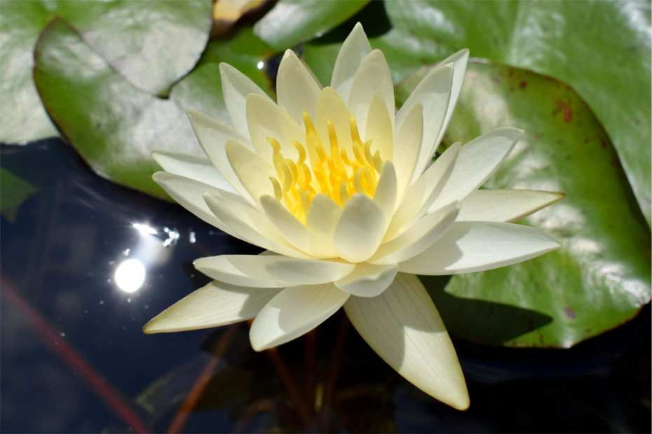 Nymphaea Moon Dance Hardy Waterlily