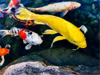 Butterfly Koi What They Are And How To Care For Them Splash Supply Companysplash Supply Company