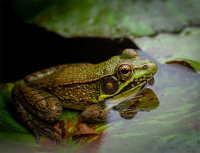 Frog low res