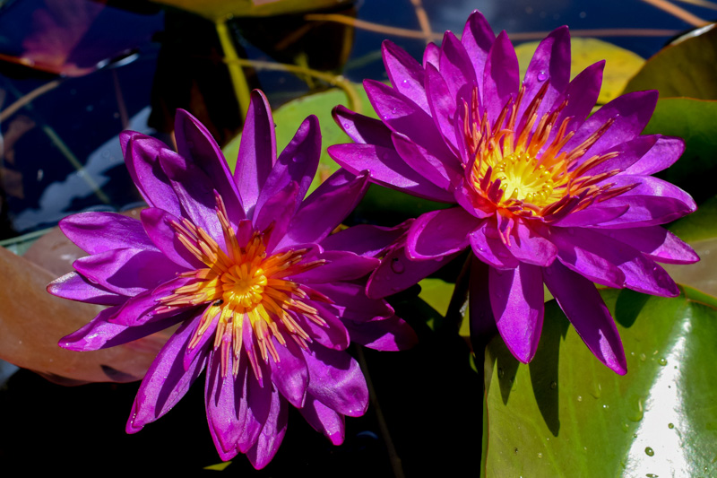Purple Fantasy Hardy Waterlily