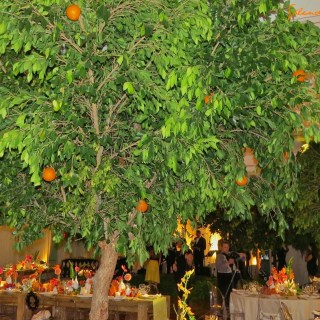Dancing in a citrus grove…