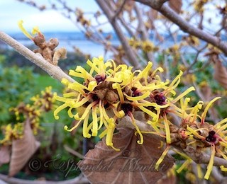 Witch hazel and a winner!