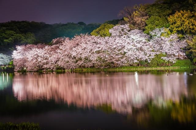 横浜の花見デートは夜が人気!おすすめスポットと時期は?