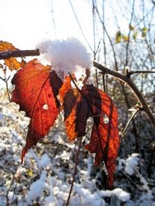 Iced Ragged Leaves