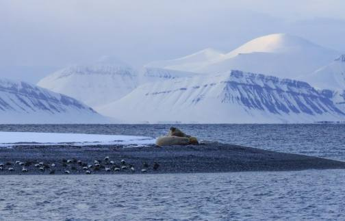 Walrus spotted but still on the look out for Polar Bears...